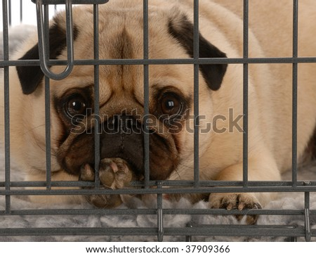pug in a wire dog crate looking out a viewer - stock photo