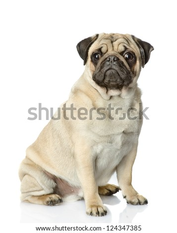 Pug  in front. isolated on white background - stock photo