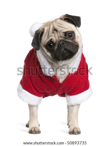 Pug in Santa coat, 1 year old, standing in front of white background - stock photo