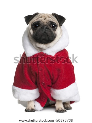 Pug in Santa coat, 2 Years old, sitting in front of white background - stock photo