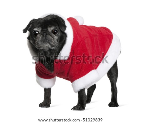 Pug in Santa coat, 10 years old, standing in front of white background - stock photo
