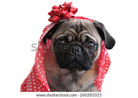 pug in wrapping paper - stock photo