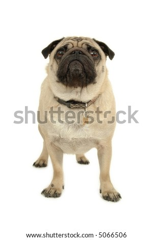 Pug is standing on a white background