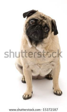 Pug isolated