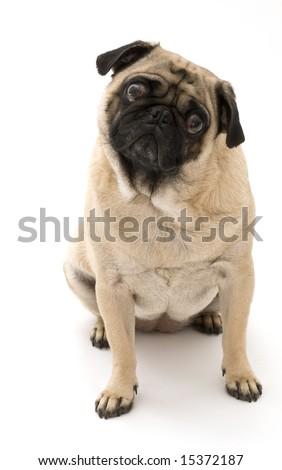 Pug isolated - stock photo