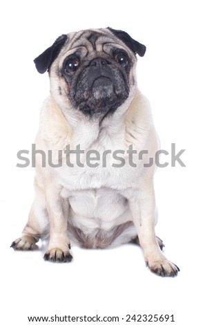 Pug isolated sitting on white
