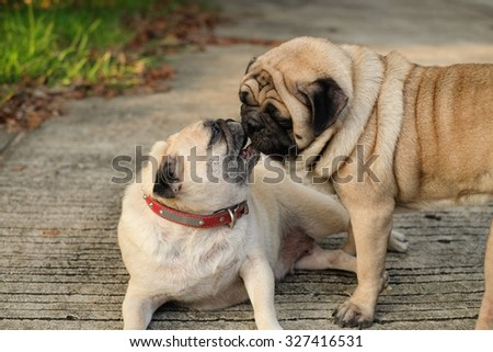 Pug Kissing on the road.