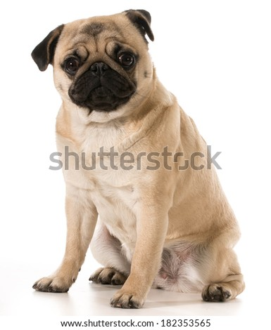 pug looking at viewer sitting isolated on white background - stock photo