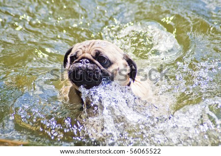 Pug making a big splash trying to swim at a dog park on a sunny day. - stock photo