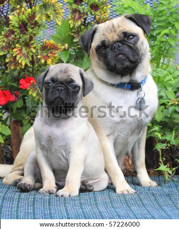 Pug Mother and Puppy - stock photo