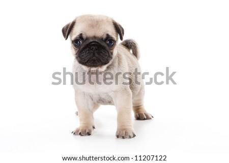 Pug on white - stock photo