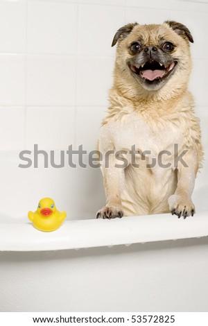 Pug-pomeranian in the bath tub - stock photo