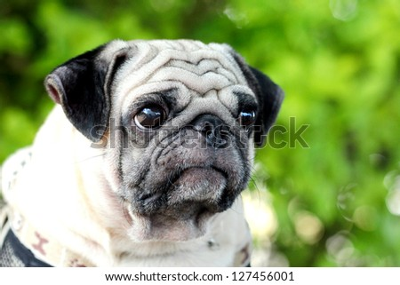 pug portrait close up - stock photo