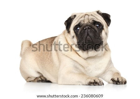 Pug posing on a white background