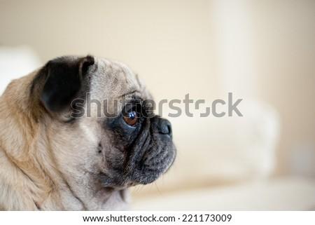 Pug Profile - stock photo