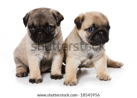 Pug puppies on white background