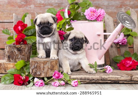 pug puppy and flower roses - stock photo