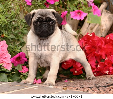 Pug Puppy And Flowers - stock photo