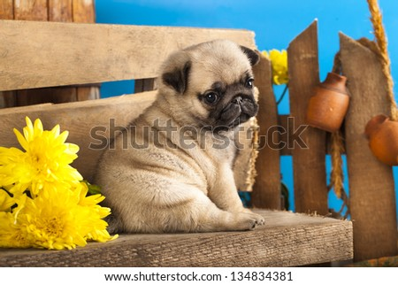 pug puppy and spring  flowers - stock photo