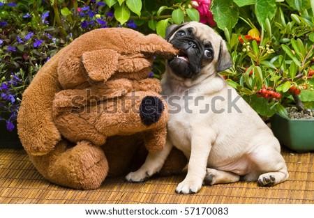 Pug Puppy And Stuffed Animal - stock photo