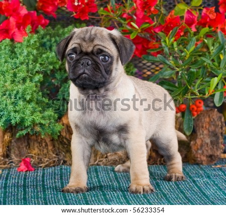 Pug Puppy at Eight Weeks Old - stock photo