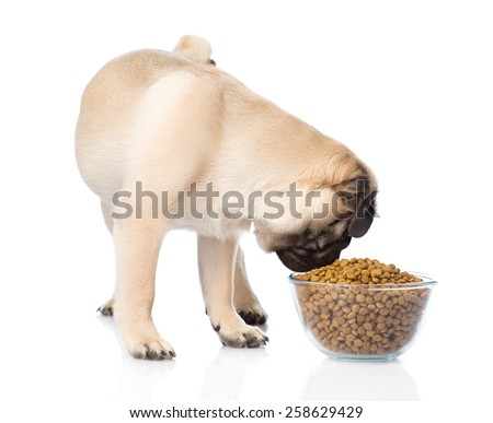 Pug puppy eating food from a large bowl. isolated on white background - stock photo