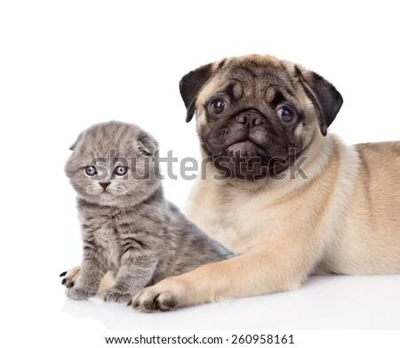 Pug puppy embracing scottish cat. isolated on white background - stock photo