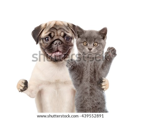 Pug puppy embracing scottish cat. isolated on white background