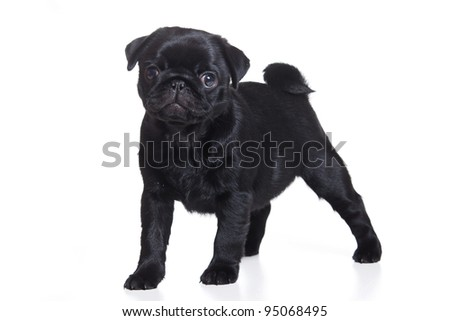 Pug puppy isolated on white background