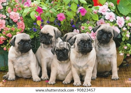 Pug Puppy Litter 8 Weeks Old - stock photo