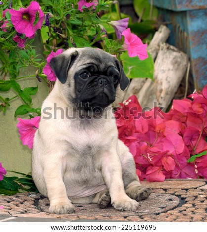 Pug Puppy Looking Cute in a Garden - stock photo