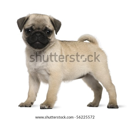 Pug puppy, 3 months old, standing in front of white background - stock photo