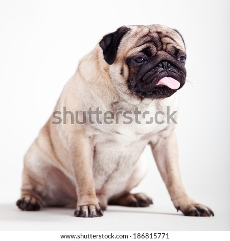 Pug puppy on an isolated background - stock photo