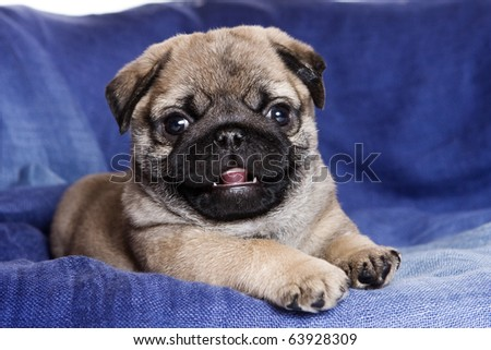 Pug puppy on blue background - stock photo