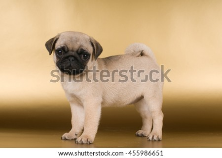 Pug puppy on golden background at studio