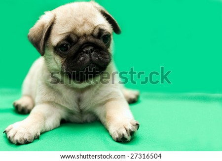 pug puppy on green background - stock photo