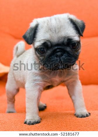 pug puppy on orange background - stock photo