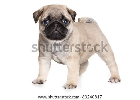 Pug puppy on white background - stock photo