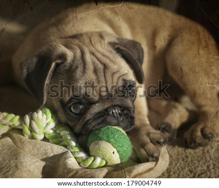 Pug puppy playing in the sunshine. Retro photography - stock photo