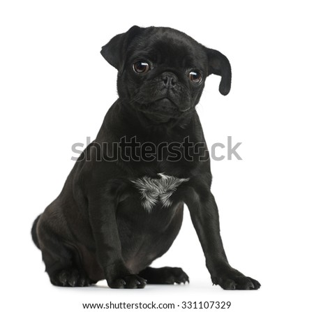 Pug puppy sitting in front of a white background