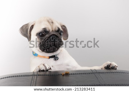 Pug puppy truing to get Biscuit - stock photo