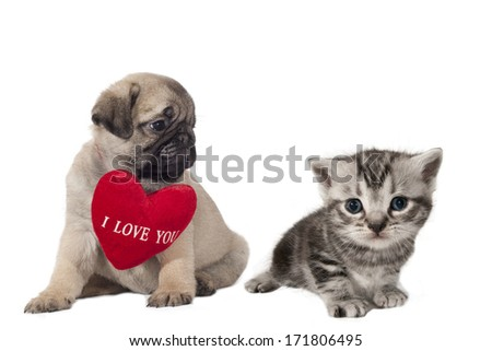 "Pug puppy with sign ""I Love You"" looking at a small British Shorthair kitten."