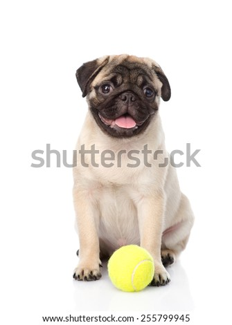 pug puppy with tennis ball. isolated on white background - stock photo