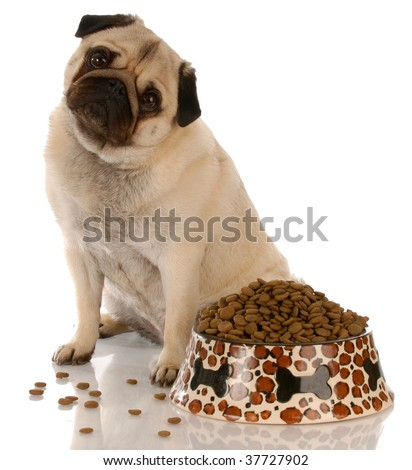 pug sitting beside a full bowl of dog food - stock photo