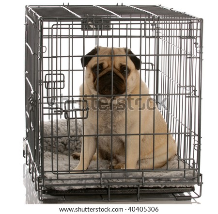 pug sitting in a wire dog crate looking out a viewer - stock photo