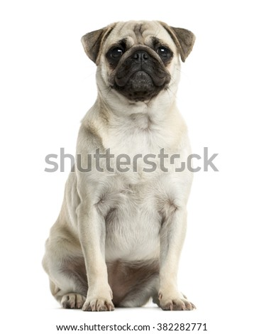 Pug sitting in front of a white background - stock photo