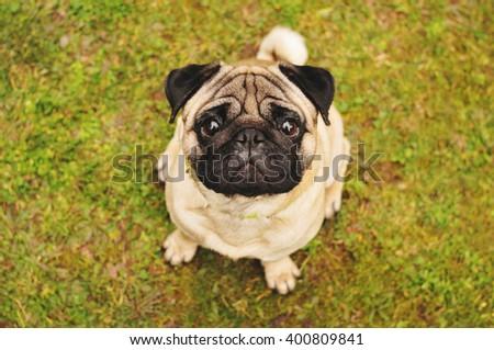 Pug sitting on green grass - stock photo
