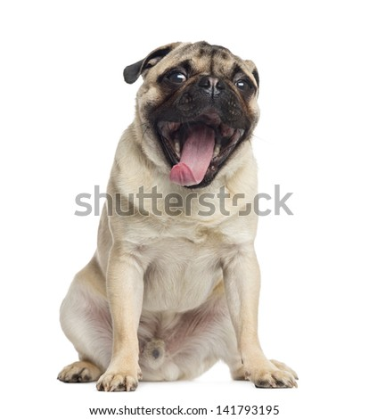 Pug, sitting, yawning, 1 year old, isolated on white - stock photo