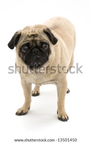 Pug Standing - stock photo