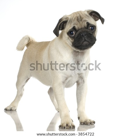 Pug standing up in front of white background